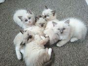 Schöne Ragdoll Kätzchen