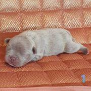 Französische Bulldoggen Welpen Schoko Lilac