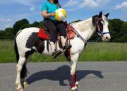 Sehr braver Pintowallach -Freizeitpferd