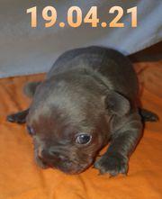 Französische Bulldogge Welpe in blau