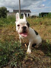 französischen Bulldogg
