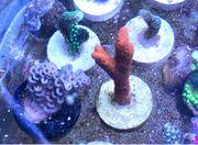 Korallen Meerwasser montipora digitata rot