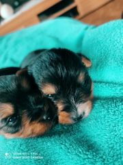 yorkshire terrier welpen 3 Welpen