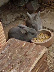 Kaninchen hasen