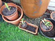 Taglilien für Randzone Teich zu