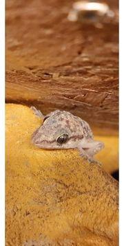 Afrikanischer Hausgecko