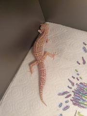 hamm spezial leopardgeckos