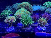 LPS Korallen Rhein-Main update 6