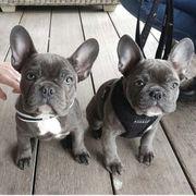 Französische Bulldogge Welpenwhatsapp 4915 2114479