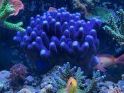 Korallen Ableger SPS LPS Milka