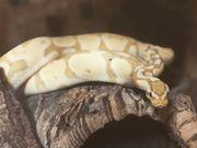 1 0 Pastel Banana Python