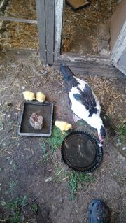 Eine Ente mit 3 Jungtiere