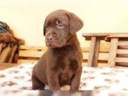 Zwei Süße Labrador retriever welpen