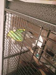 Papageien paar Vogel Goldbugpapageien Meyerpapageien