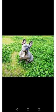 Französische Bulldogge Blueline