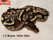 1 1 Mojave Yellow Belly