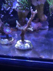 Koralle Montipora hirsuta