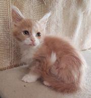 Maine Coon Kitten Mädchen