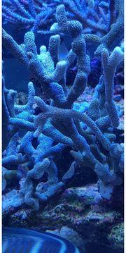 Meerwasser korallen Montipora Grün