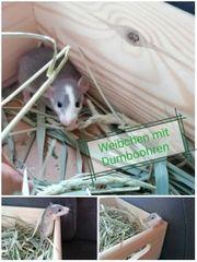süsse Dumbo Ratten Baby s