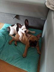 Französischen Bulldoggen 11 Wochen Alt