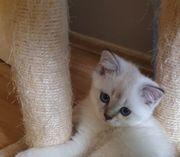 BKH Scottish Fold kitten Silver