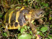 STUTTGART Europäische Landschildkröten NZ 2019