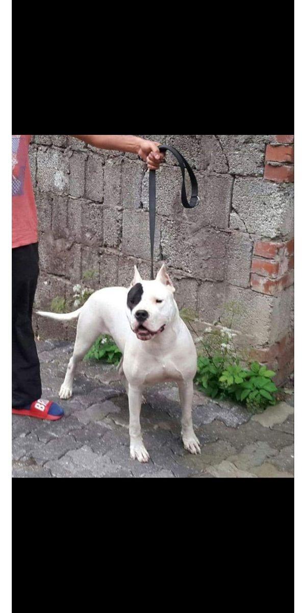 Dogo argentino hündin 2 5