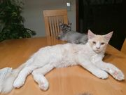 Traumhafter Maine Coon wonneproppen Baby