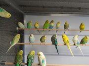 Rainbow TCB Wellensittiche Nestjunge u