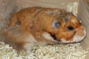 Hamster Jungtiere aus seriöser Zucht