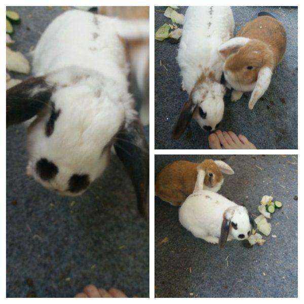 Kaninchen Mänlich (kastriert)+ Weibchen