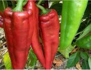 Rote spitzpaprika Samen