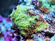 Korallenableger-Montipora mystic sunset mit Versand