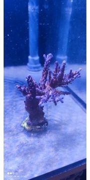 meerwasser Acropora tortuosa Blau korallen