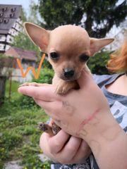 Süße reinrassige Chihuahua Welpen dürfen