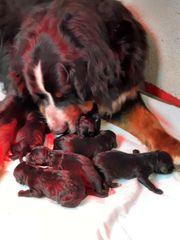 Bernedoodle Welpen Berner Sennenhund x