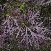Set42 Rouge Metis - Asia Salat -