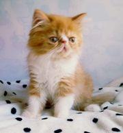 Süßer Perser Kitten