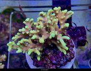 SPS Korallen Rhein-Main update 22