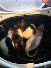 Nurnoch 4 Rattenböcke abzugeben