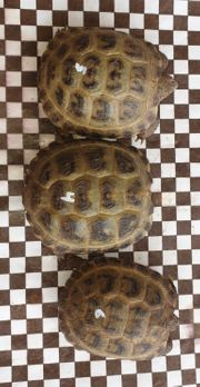 Russische Vierzehen Landschildkröten