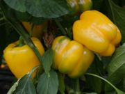 Samen von der Paprika gelb