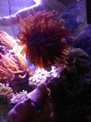 Kupferanemone Meerwasser Entacmea quadricolor