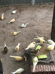 Gelegenheit Aufgabe Hobbyzucht Kanarienvögel
