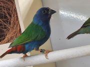 blaugrüne Papageiamadinen