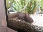 Axolotl Copper Männchen mit Mosaik