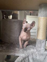 Sphinx-Elf Baby Katzen