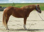 3-jahrige Paint Horse Stute zu