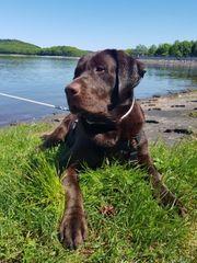 Labrador Deckrüde kein Verkauf